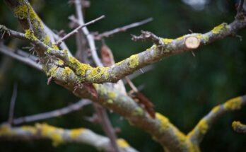 Омоложение плодовых деревьев