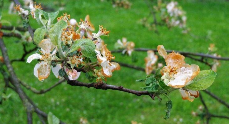 Цветы, яблоня, Весна, Природа, Дерево, Сад
