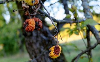 Яблоко, Болезнь, Фрукты, Гнили, Плодов, Дерево, Осенью