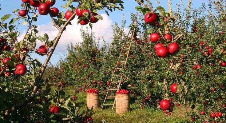 Яблоко Фруктовый Сад Яблони Красный Зеленый