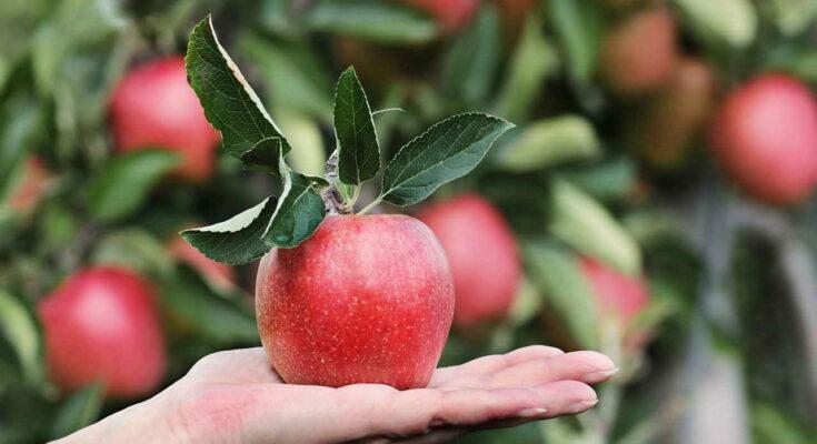 Apple, Красный, Яблоневый Сад, яблоко